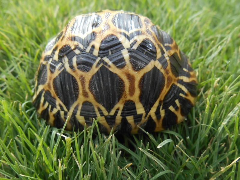 Yearling Radiated Tortoises