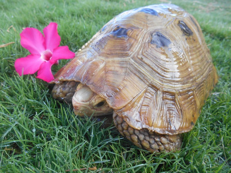 Adult Male Elongated Tortoise