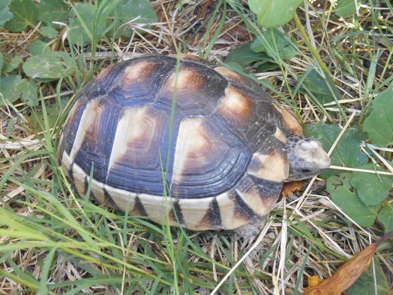 Young Female Marginated Tortoises