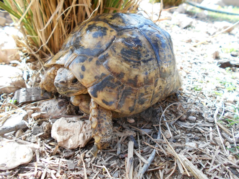 Adult Mid Eastern Greek Tortoises