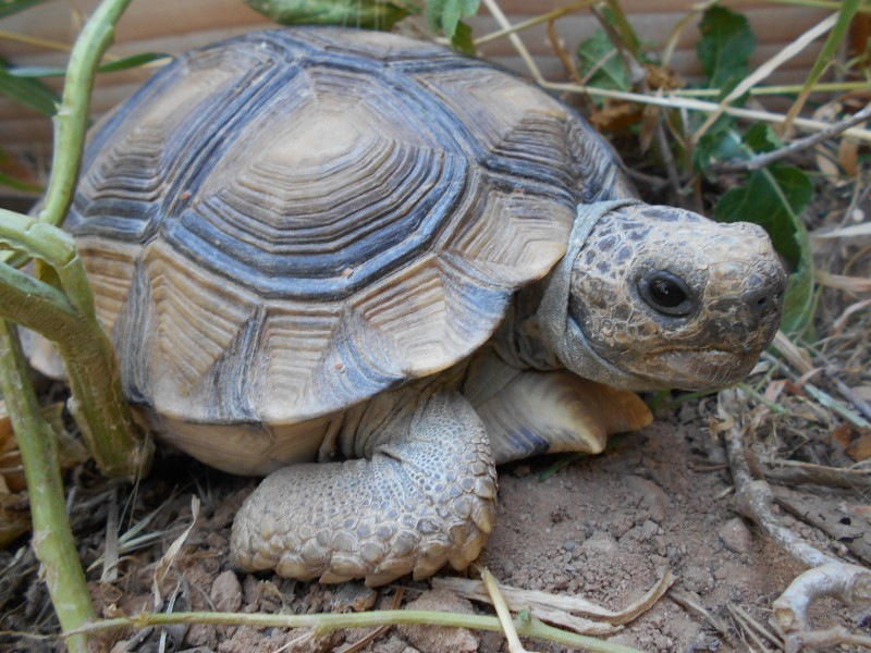 Adult Male Chaco Tortoise