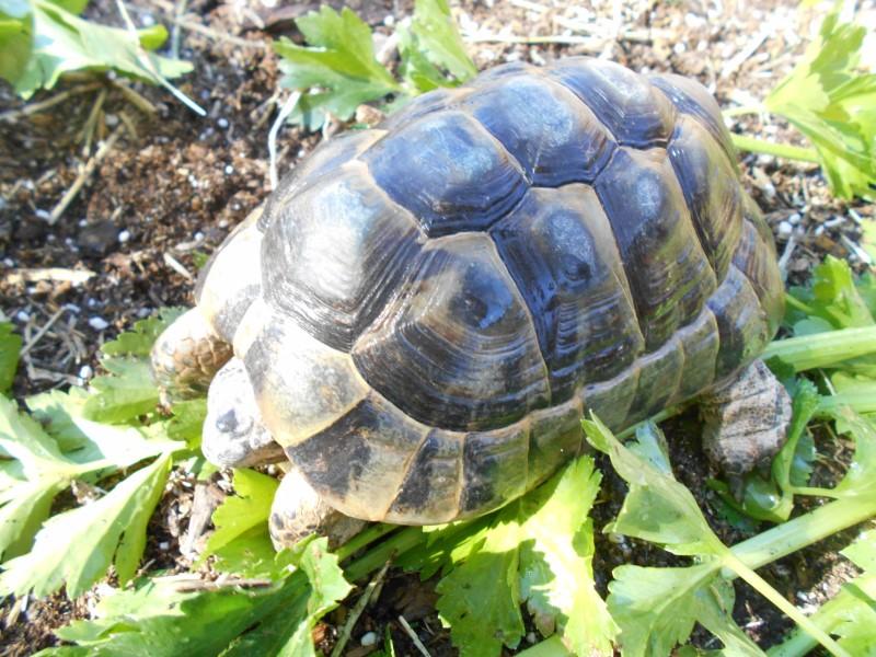 ibera greek tortoise - photo #5