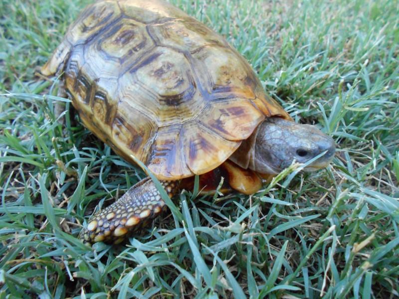 Adult Male Speke's Hinge-back Tortoises