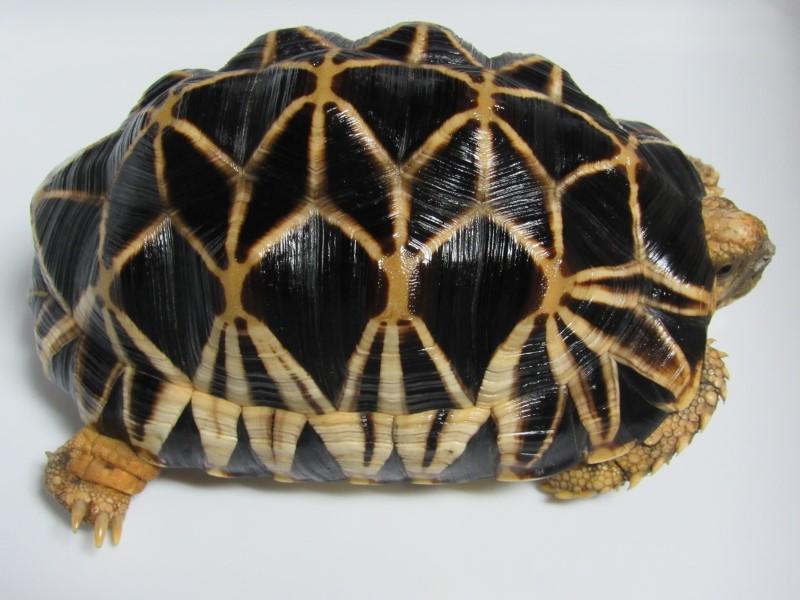 Male Burmese Star Tortoise