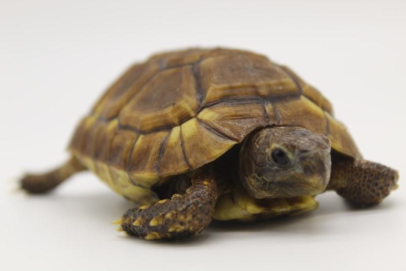 Young Female Western Bell's Hingeback Tortoise