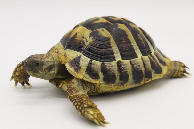 Male Hermann's Tortoises