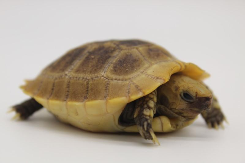 2020 Elongated Tortoise Hatchling