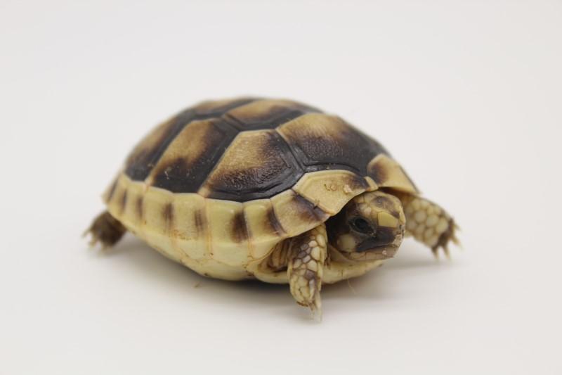 2020 Marginated Tortoise Hatchlings