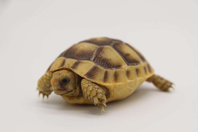 2021 Golden Greek Tortoise Hatchlings