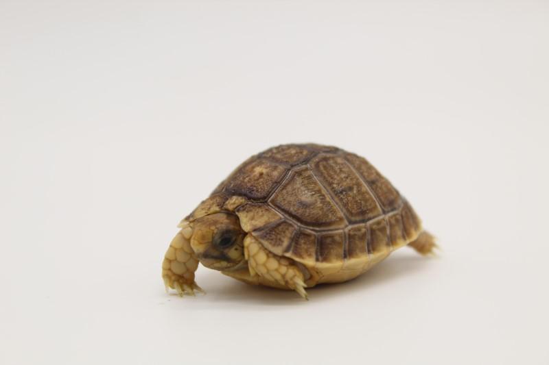 2020 Egyptian Tortoise Hatchlings