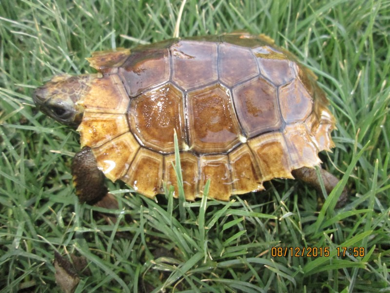 Home's Hingeback Tortoise Hatchlings