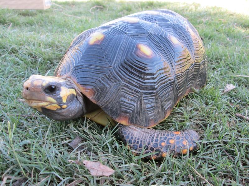 Adult Male Redfoot Tortoises
