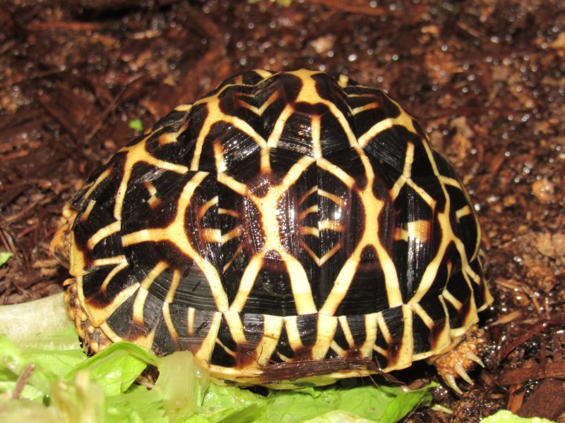 Yearling Sri Lankan Star Tortoises