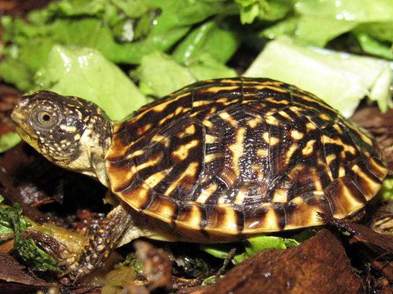 Ornate Box Turtle Hatchlings