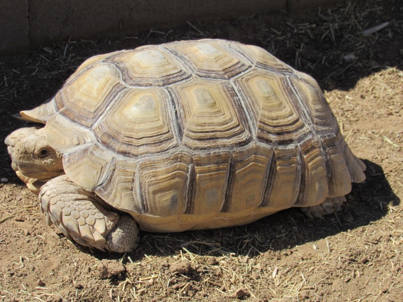 100% Heterozygous Ivory Male Sulcata - young male