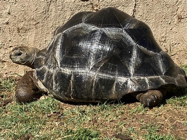 18 inch Aldabra Tortoise