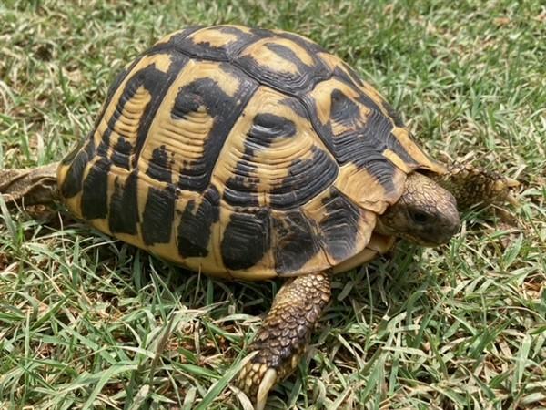 Adult Female Western Hermann's Tortoise