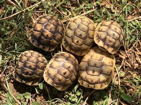 Anamurum Greek Tortoise Hatchlings