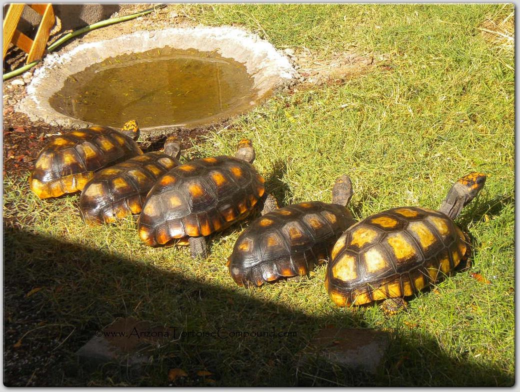 Adult Female Yellowfoot Tortoises