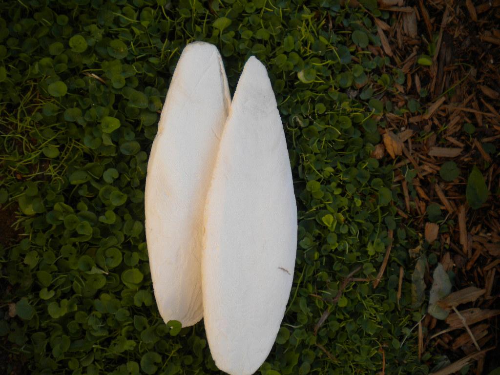 Cuttle-Fish Bones