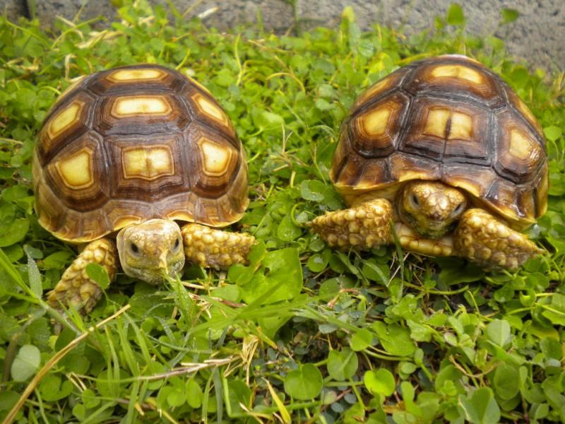 Yearling Sulcata Tortoises