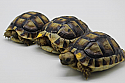 Yearling Moroccan Greek Tortoises