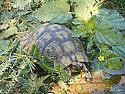 Morocco Greek Tortoise Pairs