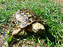 Adult Pancake Tortoises