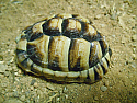 Young Adult Male Egyptian Tortoise