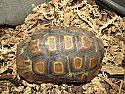 Adult Male Western Hingeback Tortoise