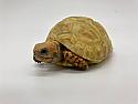 Hatchling Hypo Redfoot Tortoises
