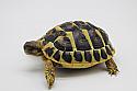 Juvenile Western Hermann's Tortoises