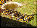 Adult Female Yellowfoot Tortoises