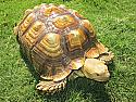 Adult Female Sulcata Tortoise