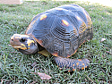 Adult Male Redfoot Tortoises