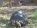 Adult Male Radiated Tortoise