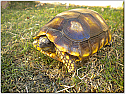 Sub-adult Yellowfoot Tortoise