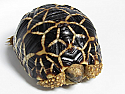 Yearling Burmese Star Tortoises