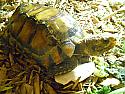 Adult Male Impressed Tortoise