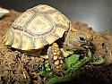 Chaco Tortoise Hatchlings
