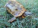 Adult Male Speke's Hinge-back Tortoises