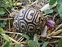 Mis- scuted Pardalis Babcocki Leopard Tortoise Hatchlings