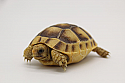 2020 Golden Greek Tortoise Hatchlings