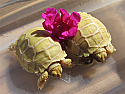 Mis-Scute Ivory Sulcata Hatchlings