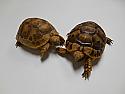 Yearling Golden Greek Tortoises