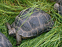 4 - 5 inch Aldabra Tortoises