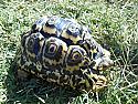 Juvenile Pardalis Pardalis Leopard Tortoises