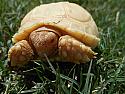 Mis- Scute Albino Sulcata Hatchlings