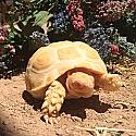 Juvenile Albino Sulcata Tortoises